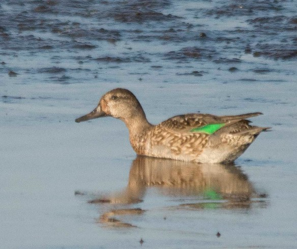 Green Winged Teal 2017-18