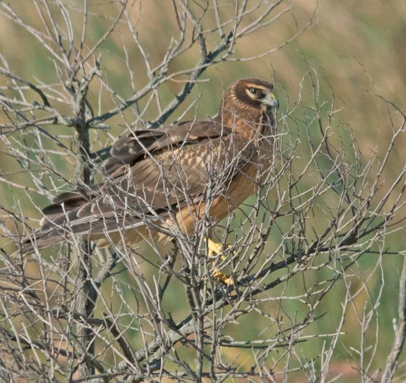 Northern Harrier 2017-16