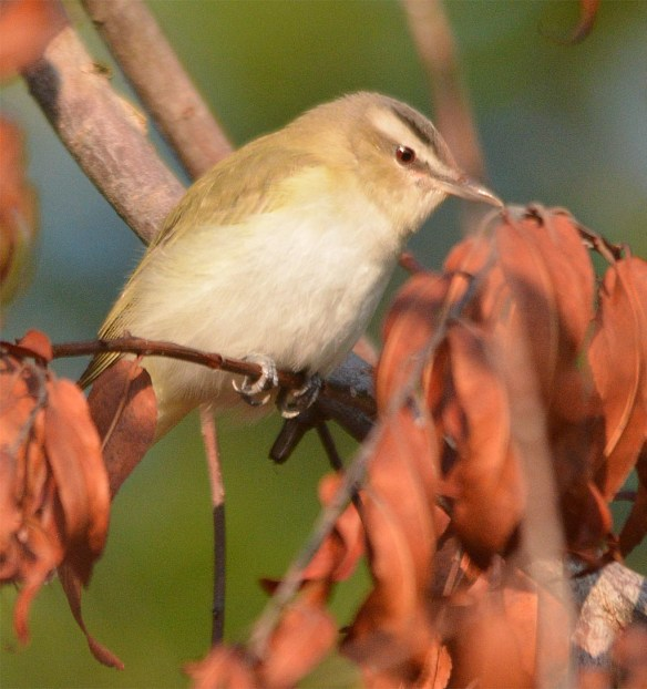Red Eyed Vireo 2017-3