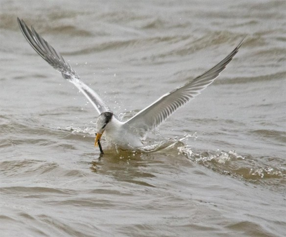 Royal Tern 2017-5