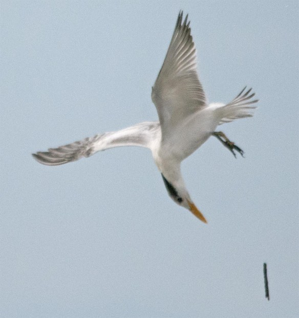 Royal Tern 2017-7