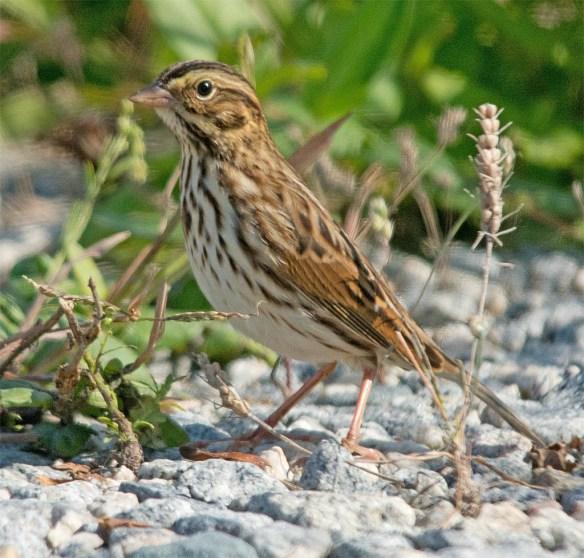 Savannah Sparrow 2017-1