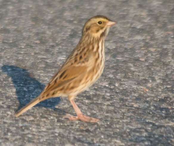 Savannah Sparrow 2017-5