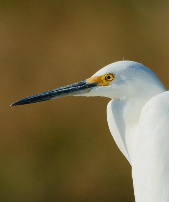Snowy Egret 2017-1