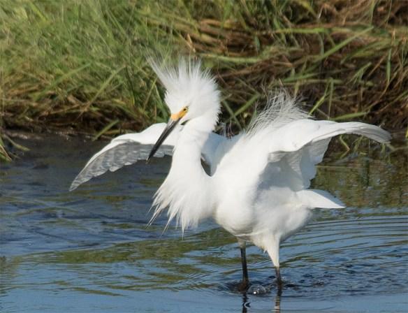 Snowy Egret 2017-77