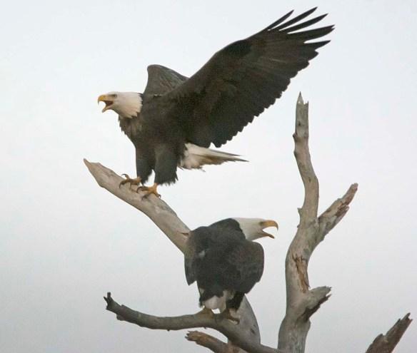 Bald Eagle 2017-186
