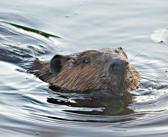 Beaver 126