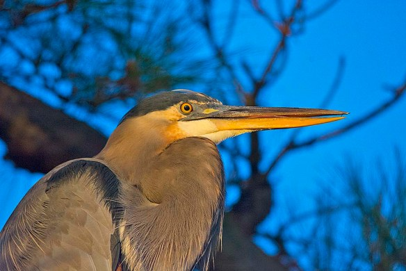 Great Blue Heron 2017-119