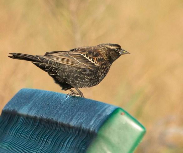 Red Winged Blackbird 2017-105