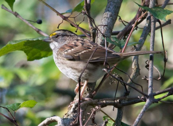 White Throated Sparrow 2017-5