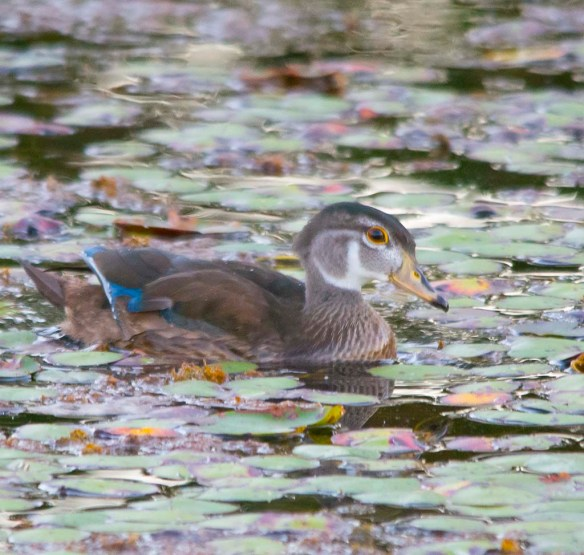 Wood Duck 2017-94
