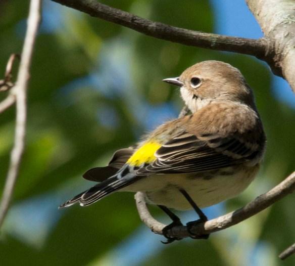 Yellow Rumped Warbler 2017-13