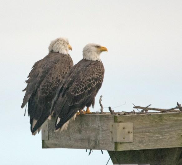Bald Eagle 2017-198