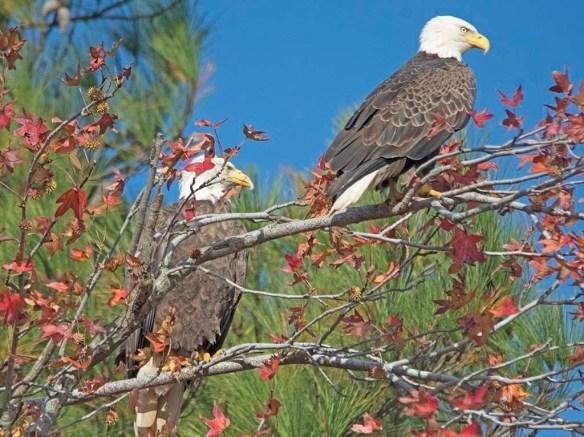 Bald Eagle 2017-200