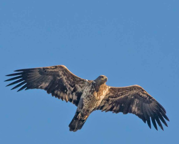 Bald Eagle 2017-207