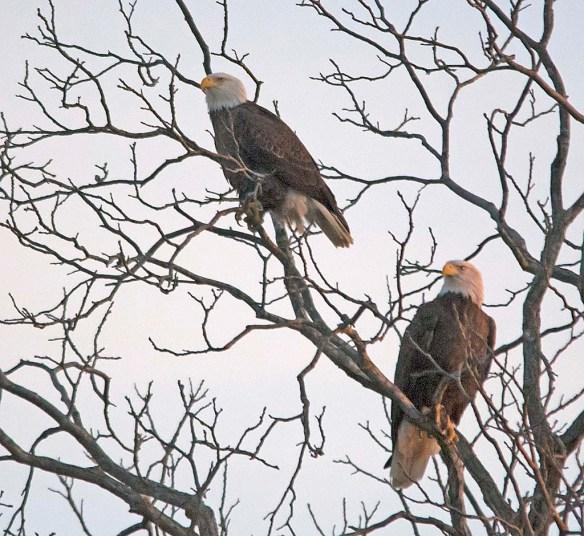 Bald Eagle 2017-208