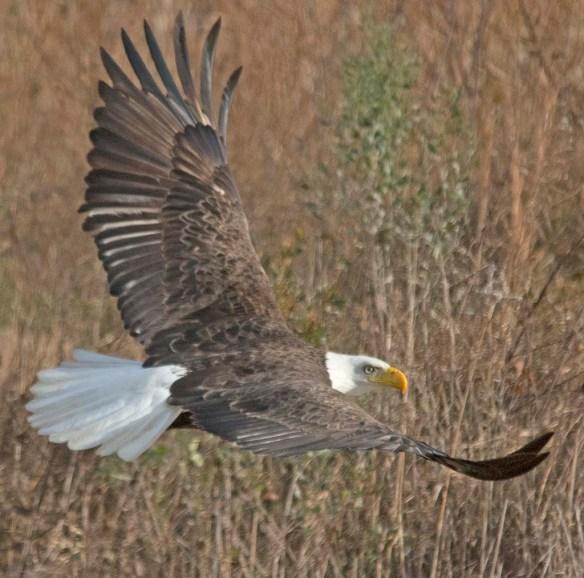 Bald Eagle 2017-211