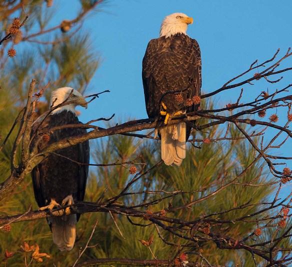 Bald Eagle 2017-219