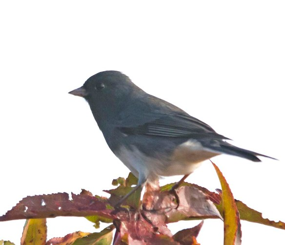 Dark Eyed Junco 2017-2