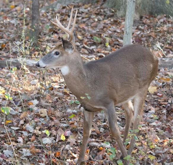 Deer-68