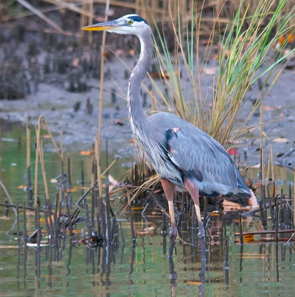 Great Blue Heron 2017-121