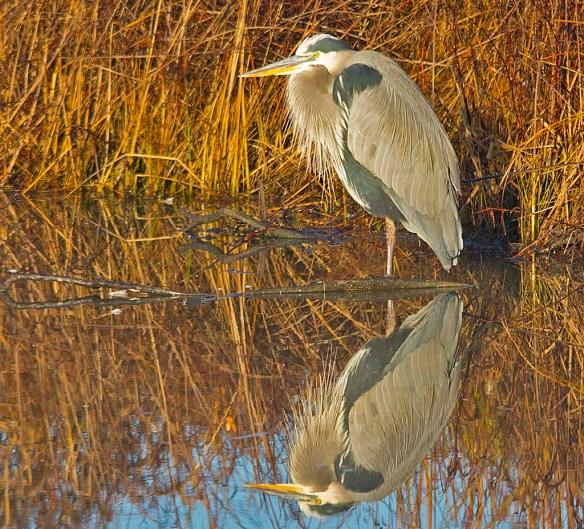 Great Blue Heron 2017-127