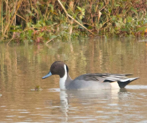 Northern Pintail 2017-43
