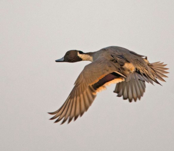 Northern Pintail 2017-48