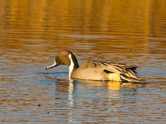 Northern Pintail 2017-51