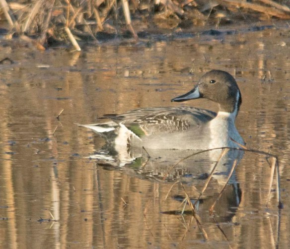 Northern Pintail 2017-53