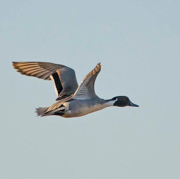 Northern Pintail 2017-54
