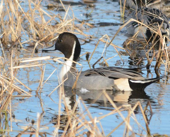 Northern Pintail 2017-58