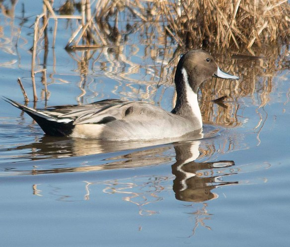Northern Pintail 2017-65