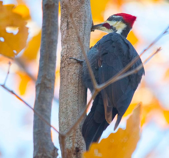 Pileated Woodpecker 2017-3