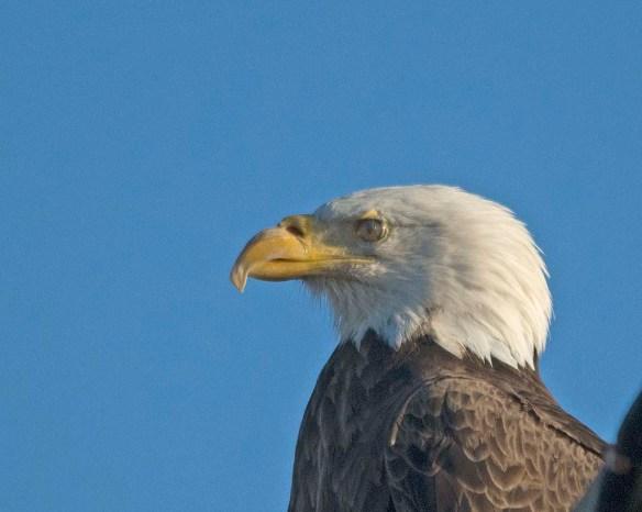 Bald Eagle 2017-227