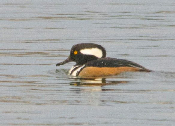Hooded Merganser 2017-813