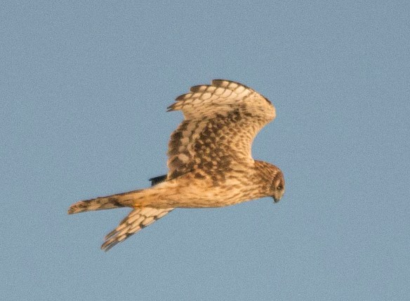 Northern Harrier 2017-20