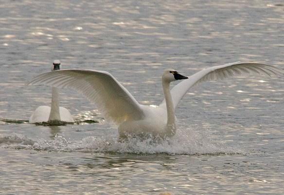 Tundra Swan 2017-76