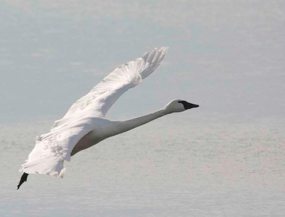 Tundra Swan 2017-79