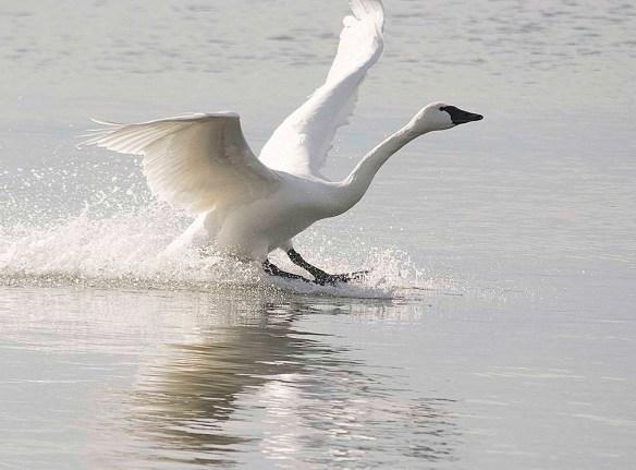 Tundra Swan 2017-80