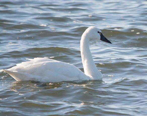 Tundra Swan 2017-89