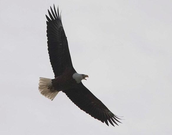Bald Eagle 2017-228