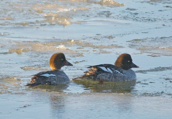 Common Goldeneye 2018-2