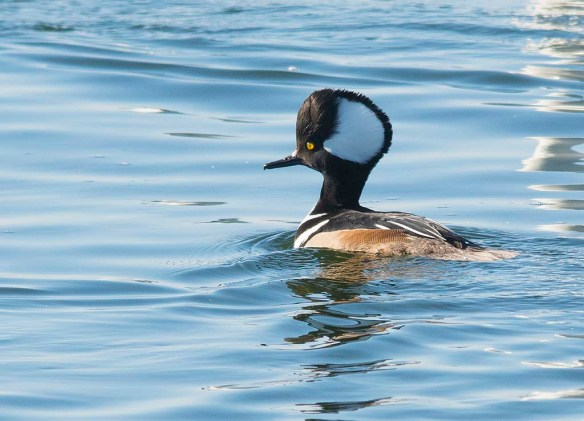 Hooded Merganser 2018-12