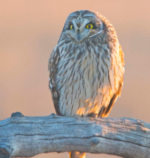 Short-eared Owl 2018-1
