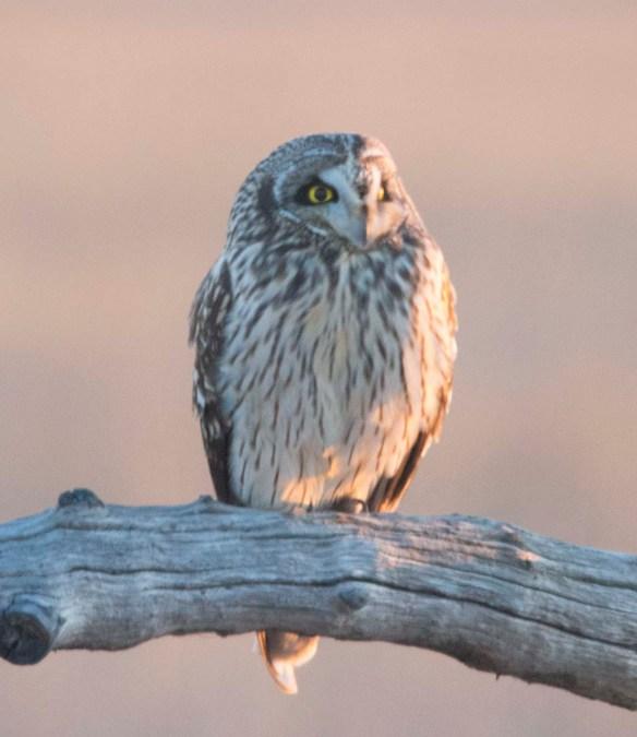 Short-eared Owl 2018-2
