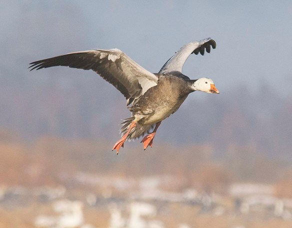 Snow Goose 2018-1