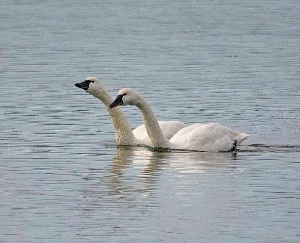 Tundra Swan 2018-9