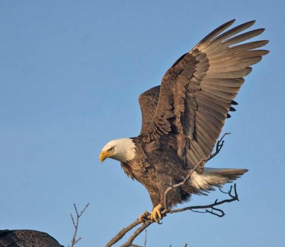 Bald Eagle 2018-14