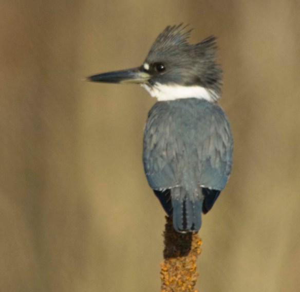 Belted Kingfisher 2018-1